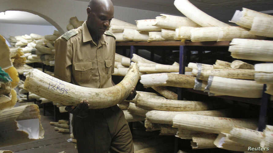 FILE - A Zimbabwe National Parks and Wildlife Management official checks ivory inside a storeroom in Harare August 22, 2012.