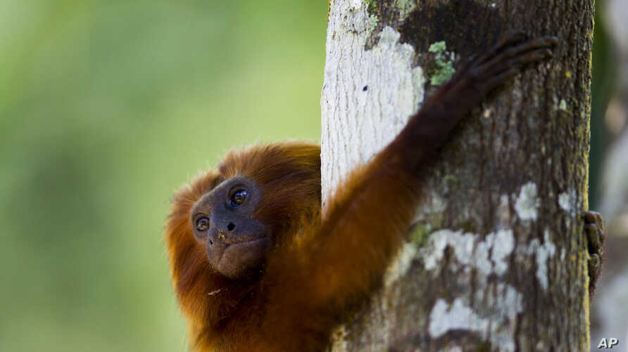 FILE - A golden lion tamarin hug a tree in the Atlantic Forest region of Silva Jardim in Brazil's state of Rio de Janeiro, Oct. 10, 2012.