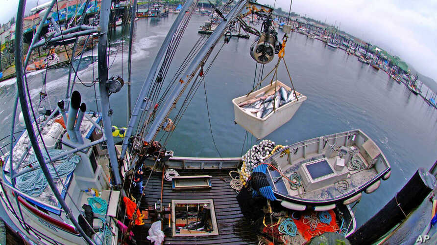 FILE - A tote of salmon is lifted in Petersburg, Alaska, July 31, 2006.