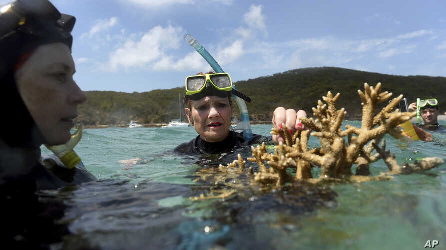 In this Nov. 25, 2016, photo Australian senator Pauline Hanson listens to marine scientist Alison Jones, left, as she displays a piece of coral on the Great Barrier Reef. Australian scientists say warming oceans have caused the biggest die-off of cor