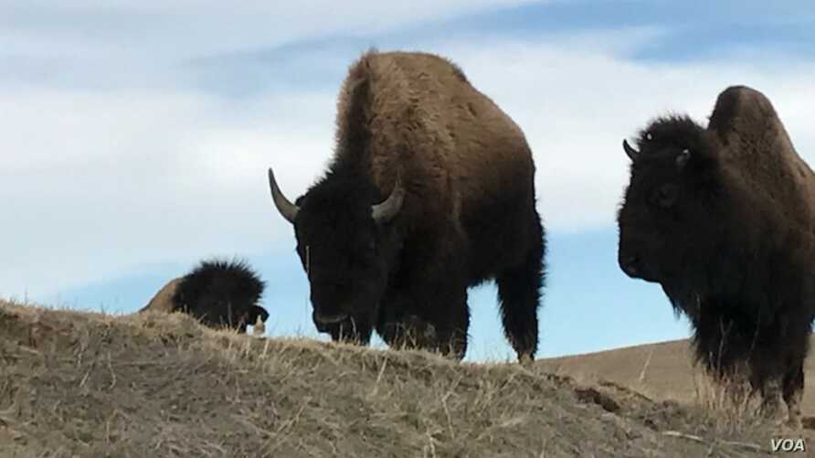 """Photo shows two of a herd of about 50 buffalo from the private herd managed by Pine Ridge Reservation resident Charles """"Bamm"""" Brewer."""