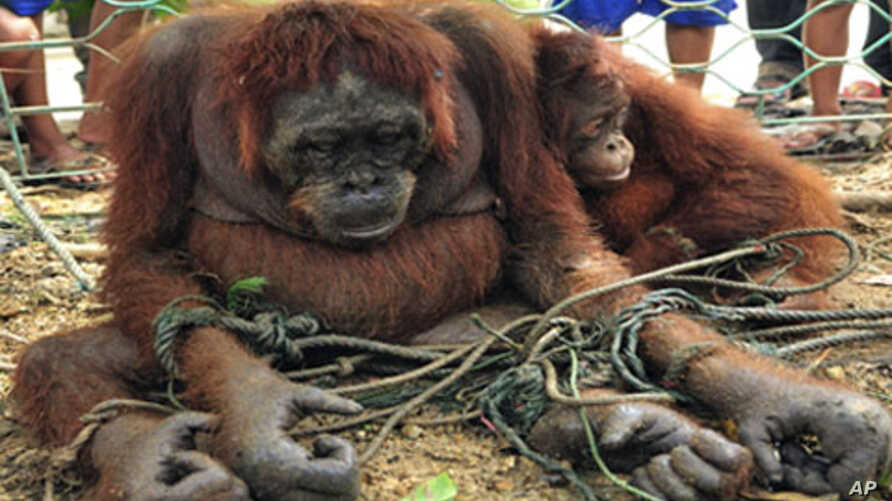 Orangutans are tied to the ground as villagers look on in Sungai Pinyuh, Indonesia's West Kalimantan province.Deforestation is destroying the natural habitats of the primate and driving them out of forests. (File)