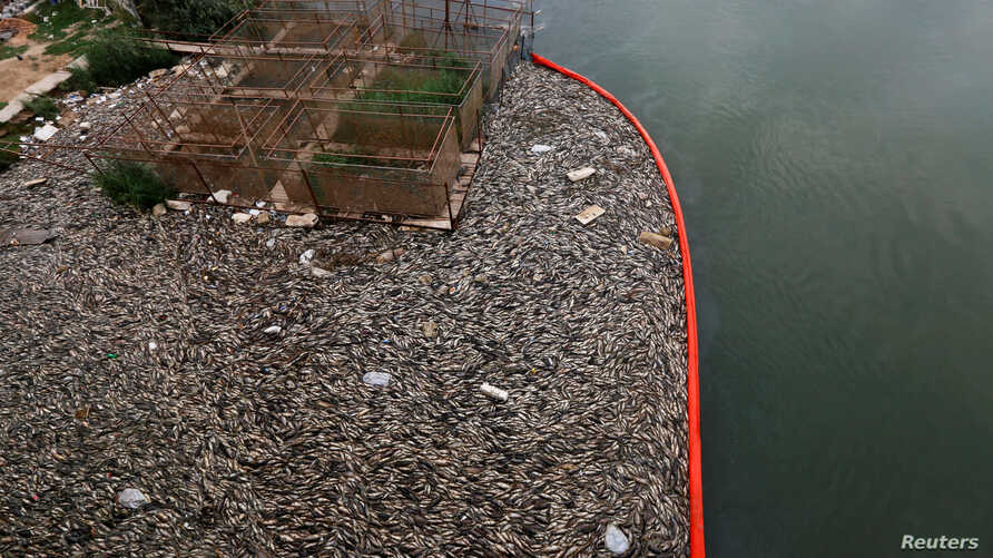 Floating dead fish are seen near fish farms at the Euphrates River in Mussayab district, Iraq, Nov. 3, 2018.