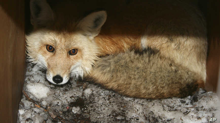 In this undated photo provided by the California Department of Fish and Wildlife, a captured male red fox is seen.