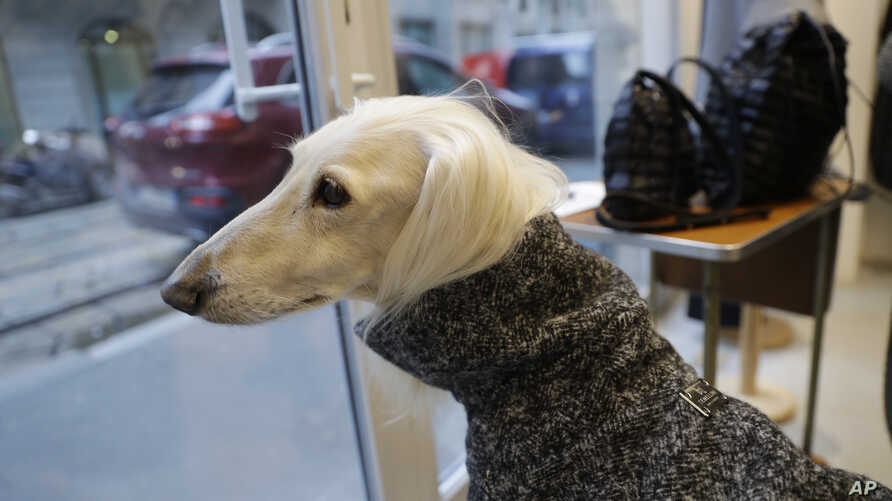 Ulisse, an Afghan greyhound, wears a coat created by designer Giovanna Temellini at the Temellini boutique, in Milan, Italy, Tuesday, Jan. 16, 2018.