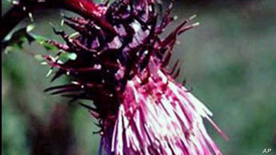 Undated photo provided by Lincoln National Forest shows the Sacramento Mountains thistle, a rare plant found only in the Sacramento Mountains of southern New Mexico