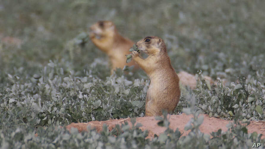 FILE - Prairie dogs are seen in southern Utah, Aug. 6, 2015.