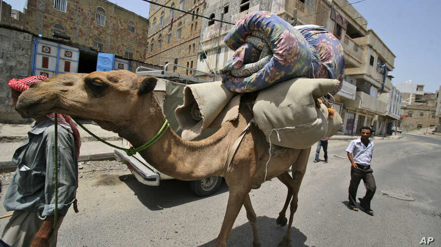 FILE - In this June 8, 2011 file photo, a Yemeni manas he leads his camel loaded with his belongings as he flees an area due to clashes between security forces and tribesmen in Taiz, Yemen. Scientists say the mysterious MERS virus has been infecting