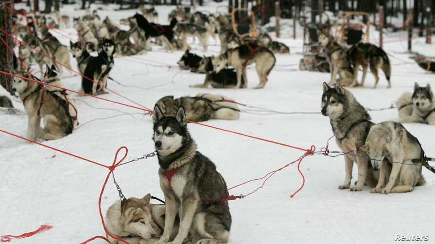 FILE - Siberian Huskies rest before their next trip as part of a dog team with tourists who are taking a part in an arctic safari at Arctic Circle near Rovaniemi, northern Finland.