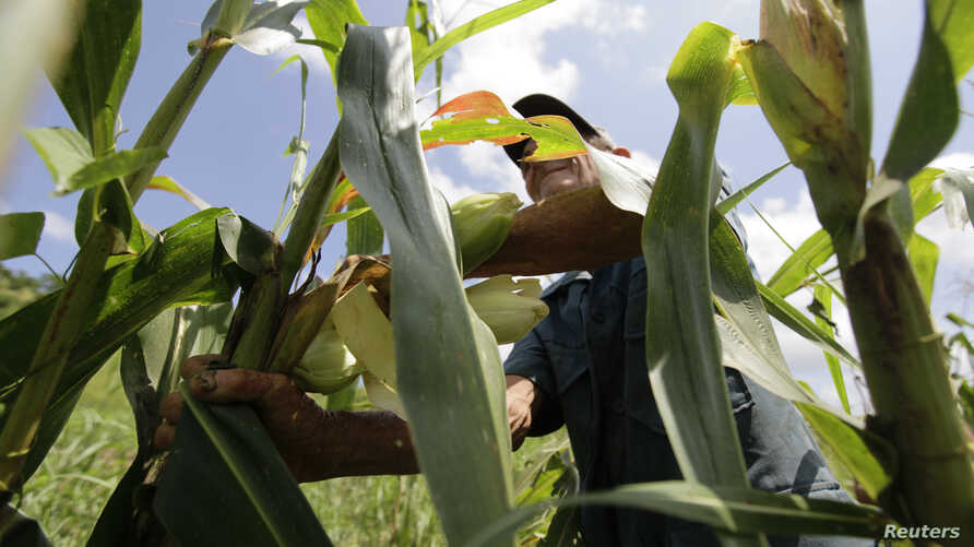 FILE - A farmer collects corn in a field on a farm on the outskirts of Havana, Cuba, Sept. 14, 2011.