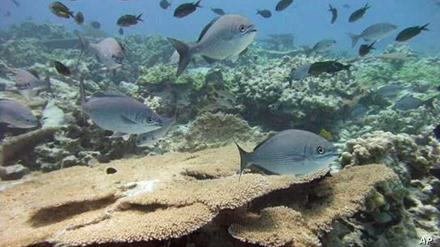 Healthy, well-managed coral reefs in Northwestern Hawaiian Islands. Overfishing threatens the Hawaiian reefs as well as more than half of the reefs around the world.