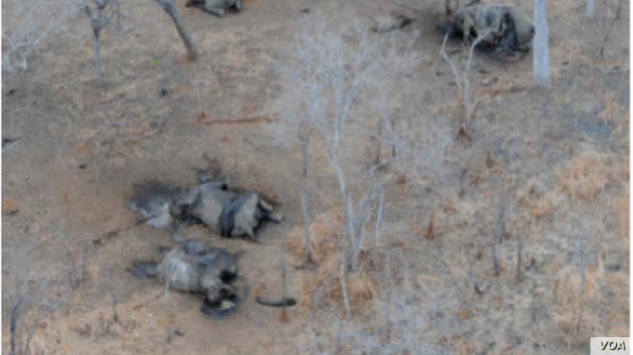 FILE - The effects of elephant poaching are seen in the Niassa Reserve, Mozambique. The wildlife park is marking a year without losing a single elephant to poachers. (Wildlife Conservation Society photo)
