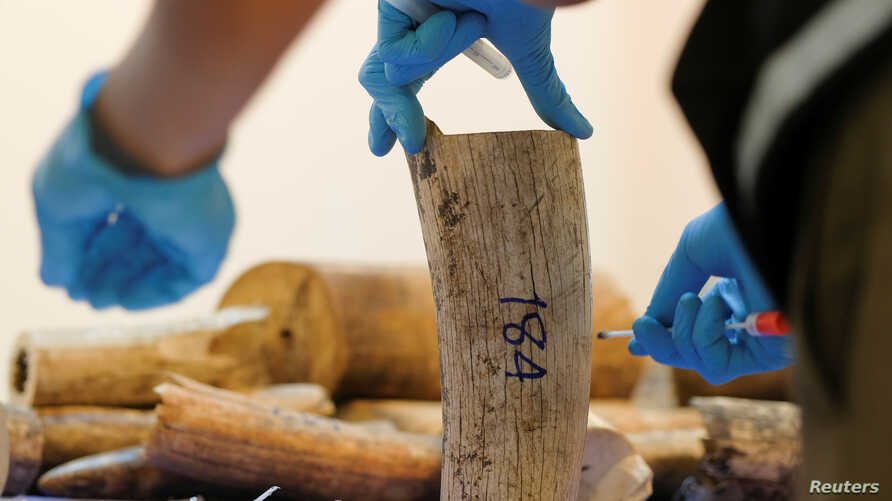 FILE - A Thai forensic expert collects a DNA sample from a confiscated elephant tusk, coming from Malawi, at Suvarnabhumi International Airport in Bangkok, Thailand, March 7, 2017.