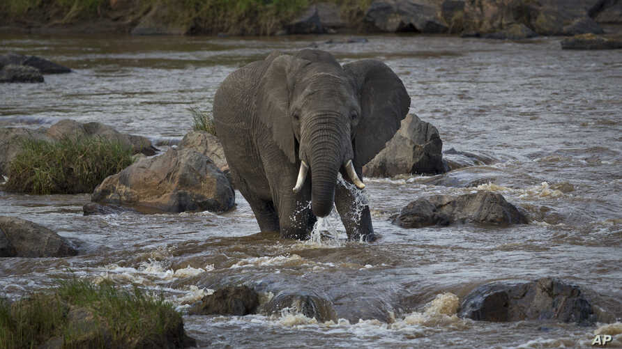 An elephant takes a drink as it cautiously crosses the Mara River in the Maasai Mara, Kenya, July 6, 2015.