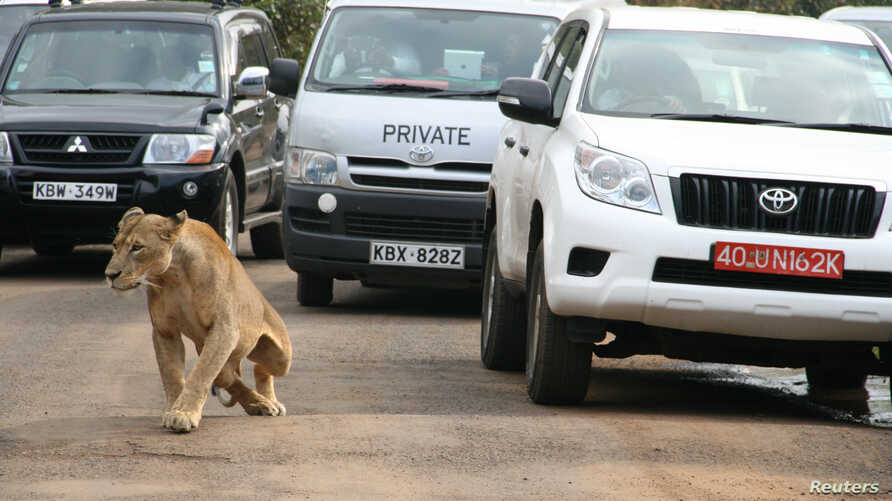 FILE - A female lion walks along a road as visitors sit in their vehicles at Nairobi's National Park in Kenya's capital Nairobi, July 12, 2014.