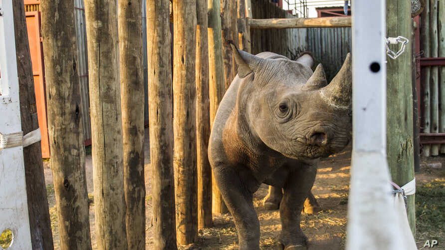 A rhino is seen in a cage in the Addo Elephant Park, near Port Elizabeth, South Africa, to be transported to Zakouma National Park in Chad, May 2, 2018.