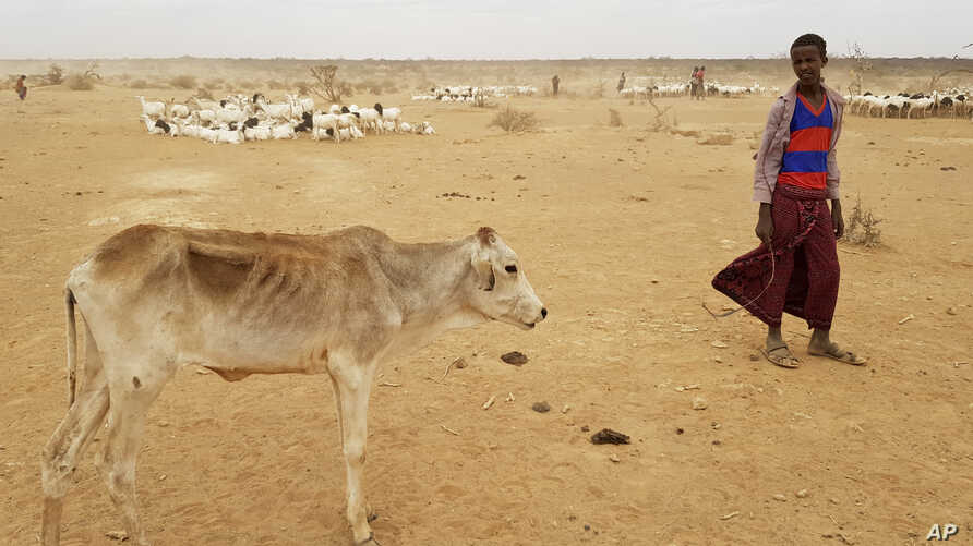 FILE - A child attends to his malnourished calf in the Danan district of the Somali region of Ethiopia, which hasn't seen significant amounts of rain in the past three years, Sept. 3, 2017.