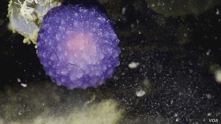 A strange purple blob was spotted in deep waters off California. (Nautilus)