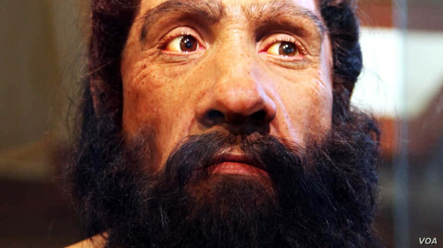 A model of an adult Neanderthal male head and shoulders by artist John Gurche on display in the Hall of Human Origins in the Smithsonian Museum of Natural History in Washington, D.C.
