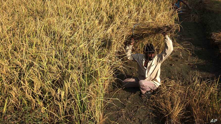 An Indian farmer harvests rice crop in a field on the outskirts of Jammu, India, October 30, 2012 file photo.