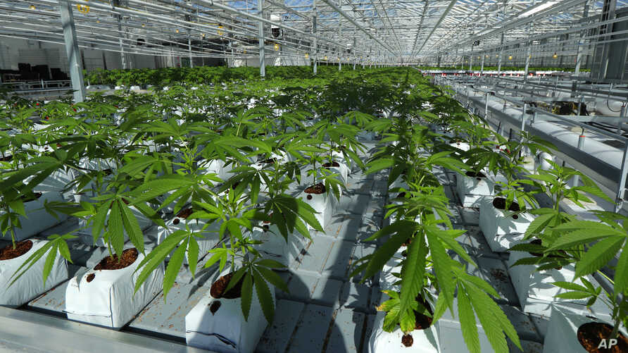 FILE - Marijuana plants are shown growing in a massive tomato greenhouse being renovated to grow pot in Delta, British Columbia, that is operated by Pure Sunfarms, a joint venture between tomato grower Village Farms International, and a licensed medi