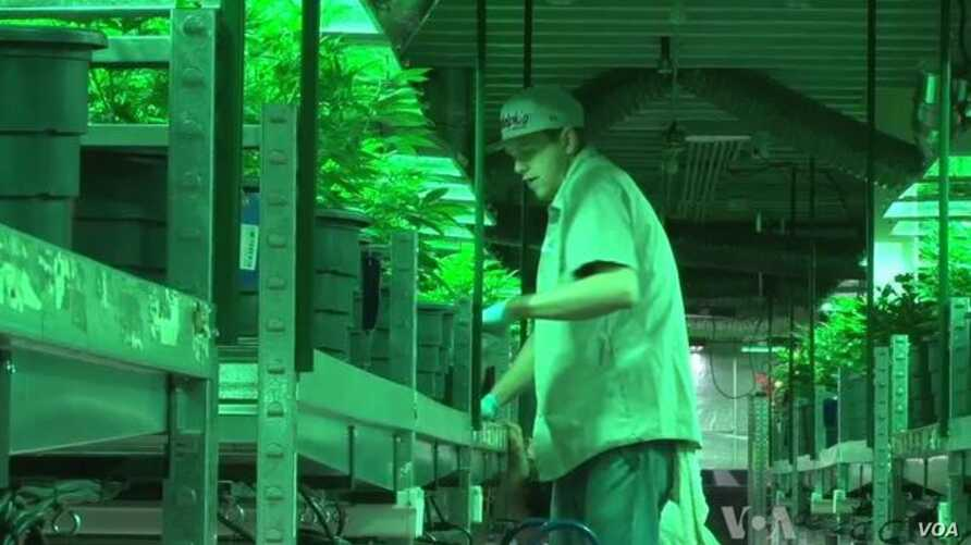 Legal Marijuana in Colorado Good for Business, Worrisome for Public Health