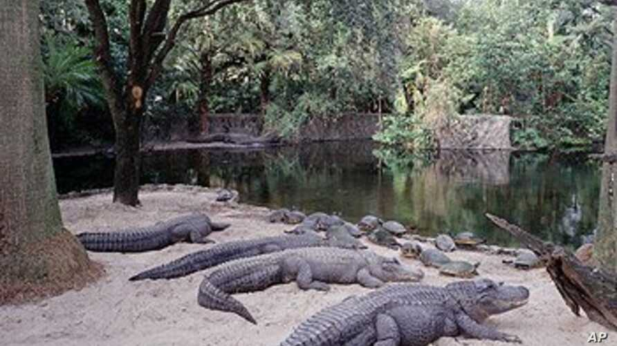 In part because they're cold-blooded creatures, alligators