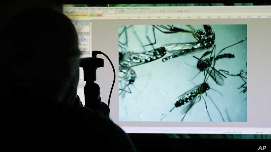 Evaristo Miqueli, a natural resources officer with Broward County Mosquito Control, looks through a microscope at Aedes aegypti mosquitoes in Pembroke Pines, Florida, June 28, 2016. The mosquitoes were collected from a residential home during a routi