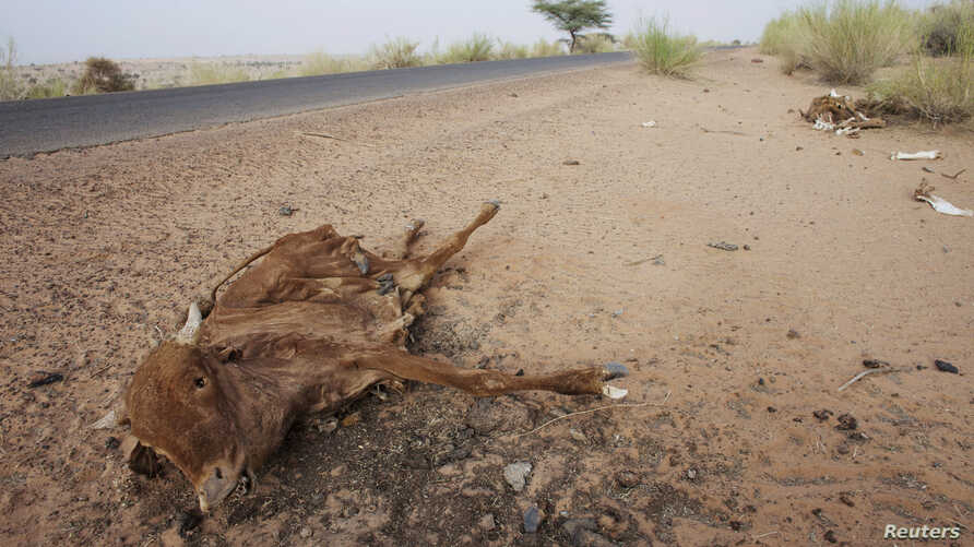 Cattle decompose under the Saharan sun outside the town of Ayoun el Atrous in Mauritania, May 20, 2012.