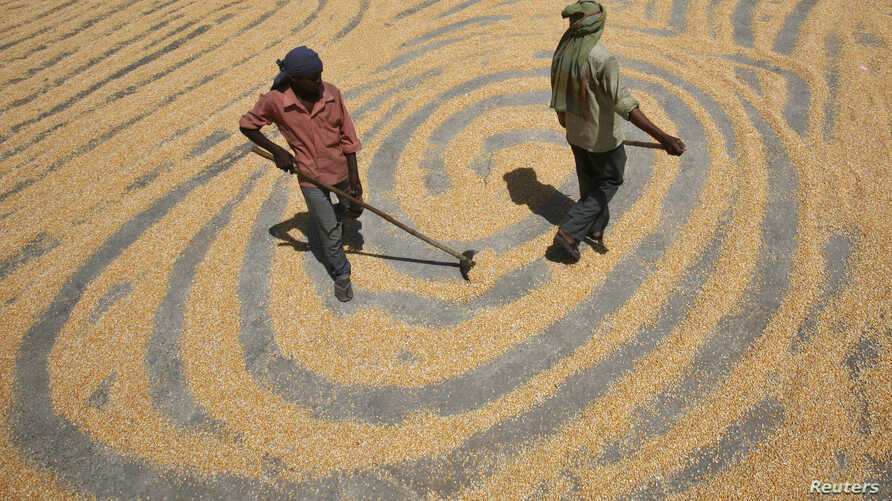 FILE - Workers spread maize crop for drying at a wholesale grain market in the northern Indian city of Chandigarh, June 12, 2012.