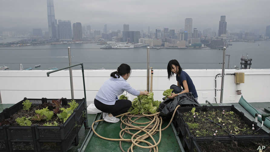 In this Nov. 14, 2017 photo, Michelle Hong, right, and Catherine Ng wash lettuce on the roof of the 38-story Bank of America tower, in Hong Kong.
