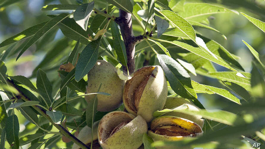 FILE - Almonds ready for harvest are seen at a farm in Hilmar, Calif. California produces 80 percent of the world's almond supply.