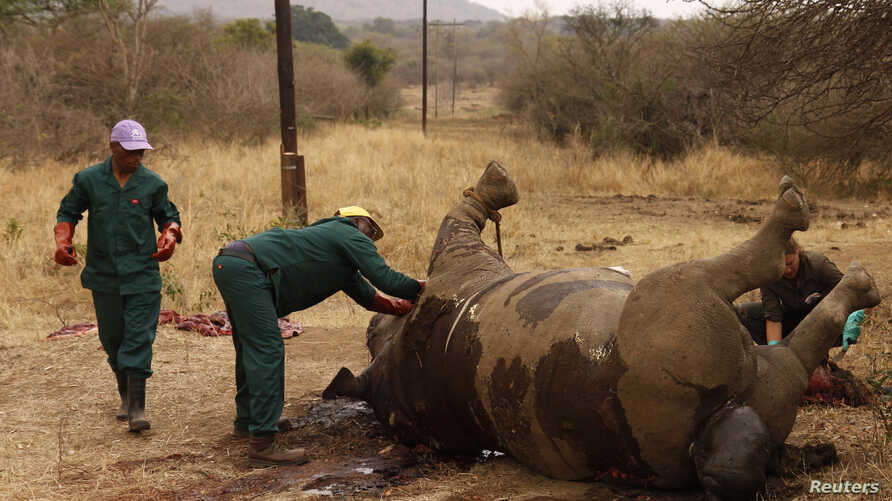 FILE - Workers perform a post-mortem on the carcass of a rhino after it was killed for its horn by poachers at the Kruger national park in Mpumalanga province, September 14, 2011.