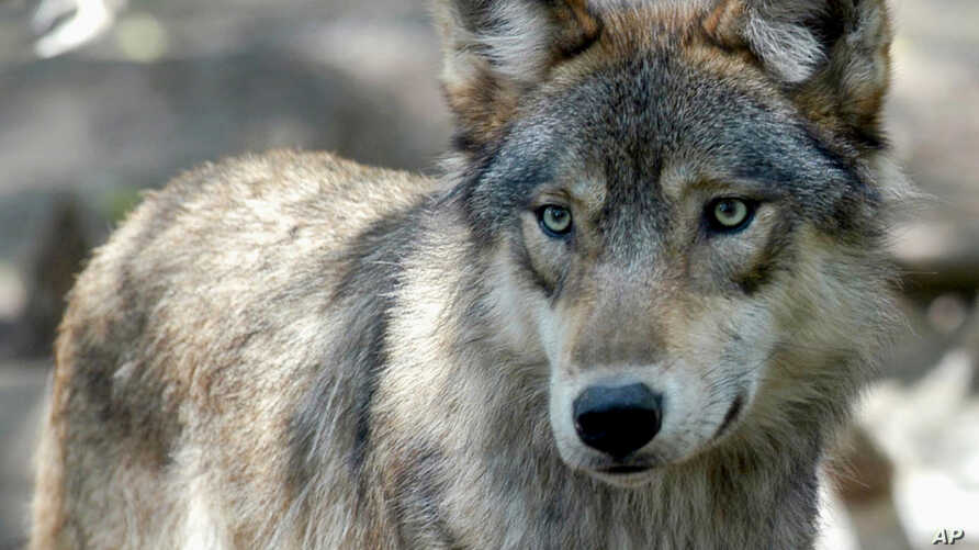 FILE - A gray wolf is pictured at the Wildlife Science Center in Forest Lake, Minn.