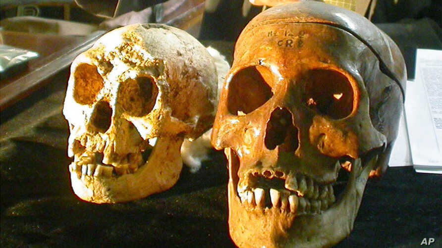 The skull, left,  of a newly discovered 18,000-year-old species, known as  Homo floresiensis,  is displayed next to a normal human's skull, right,  at a news conference in Yogyakarta, Indonesia Friday, Nov. 5, 2004.