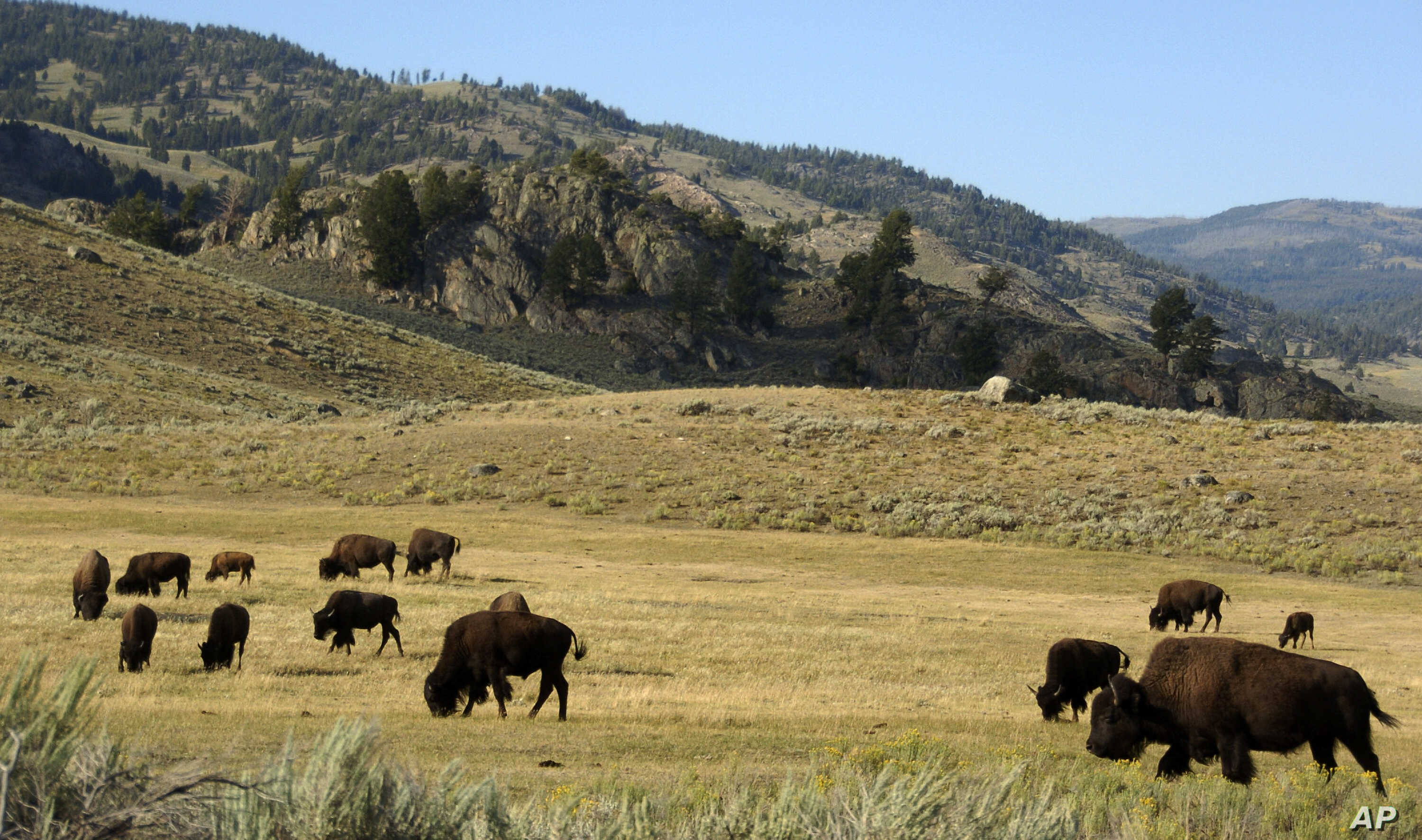 Yellowstone Ringing Phones: FILE - In this Aug. 3, 2016 file photo, a herd of bison grazes in the Lamar Valley of Yellowstone National Park in Wyo. Park administrators appear to have lost ground on a 2009 pledge to minimize cell phone access in backc