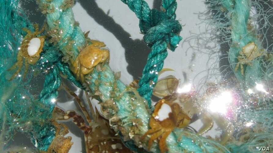 Section of plastic filament net pulled aboard from the open ocean. (Credit: G. Boyd, SEA Education Association)