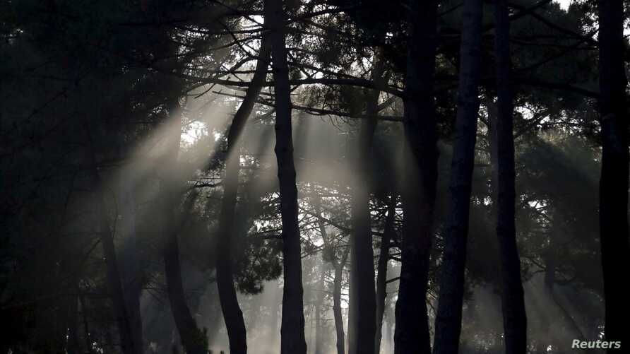 FILE - The autumn sun shines through a pine forest in Andernos near Bordeaux, southwestern France, Sept. 30, 2014.