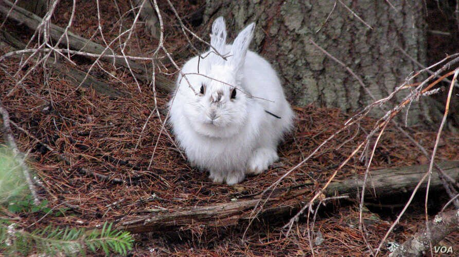 Easy pickings? A snowshoe hare in winter coat stands out before the snow falls. (Courtesy of L. Scott Mills Lab, NCSU)