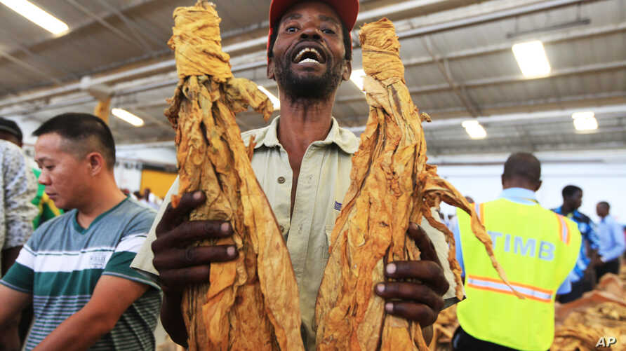FILE - A tobacco farmer holds a sample of his crop during the opening of the Tobacco selling season in Harare, March 30, 2016.