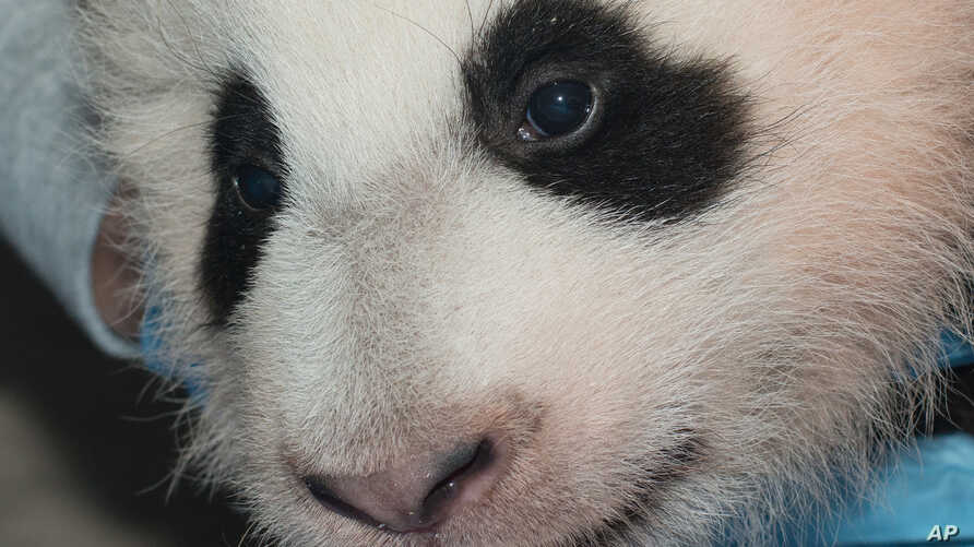 FILE  -In this Nov. 29, 2013 photo provided by the Smithsonian National Zoo, a giant panda cub is measured as it is about to turn 100 days old, at the Smithsonian National Zoo in Washington.