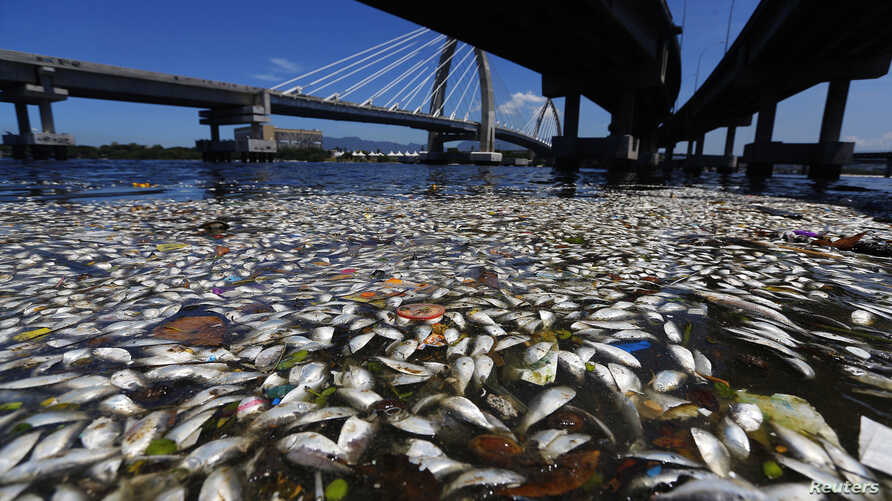 Dead fish are pictured on the banks of the Guanabara Bay in Rio de Janeiro February 24, 2015.  International Olympic Committee members meeting in Rio de Janeiro this week will understand if its waters are not completely clean for the sailing events i