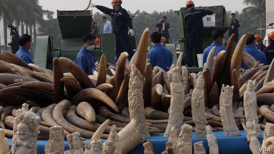 Workers destroy illegal ivory in Dongguan, southern Guangdong province, China, Jan. 6, 2014.