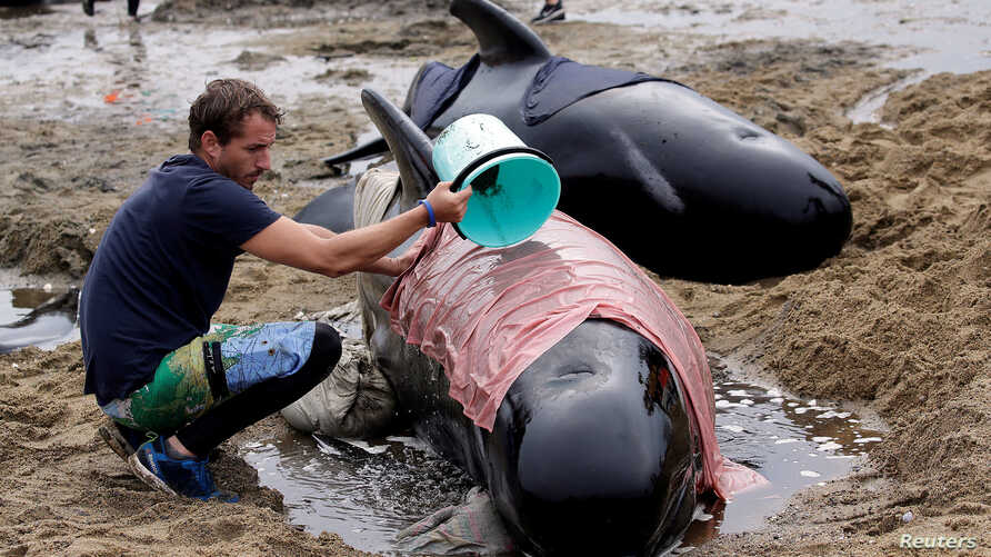 A volunteer looks after one of a pod of stranded pilot whales as they prepare to refloat them after one of the country's largest recorded mass whale strandings, in Golden Bay, at the top of New Zealand's South Island, Feb. 12, 2017.