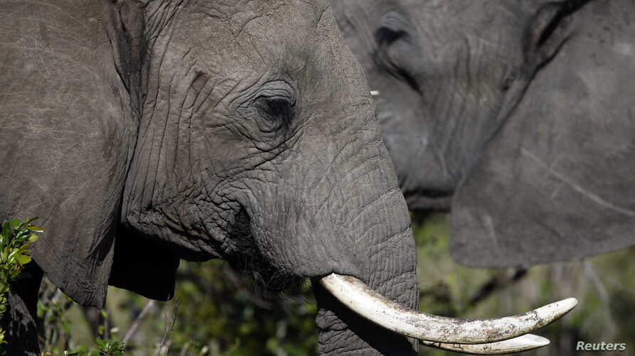 FILE - Poachers hunt and kill African elephants for their ivory tusks, though the trade is illegal.