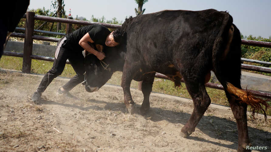 Bullfighter Ren Ruzhi, 24, fights with a bull during a practice session at the Haihua Kung-fu School in Jiaxing, Zhejiang province, China October 27, 2018.