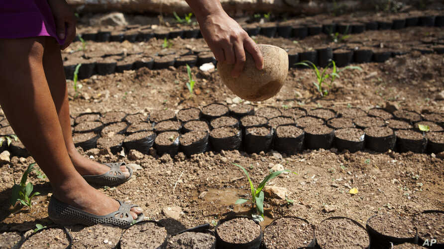 Cleotilde Garcia uses half of a dried gourd to water her newly planted corn seedlings in Shalagua, in Guatemala's eastern state of Chiquimula, June 1, 2016. Local farmers say it has been four years since there was enough rain in the area known as the