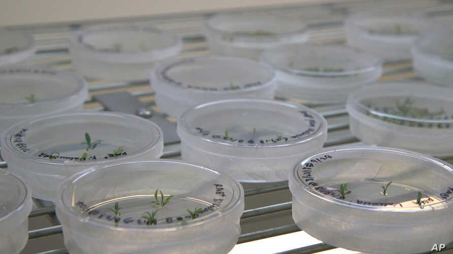 FILE - This Sept. 27, 2018 photo shows petri dishes with citrus seedlings that are used for gene editing research at the University of Florida in Lake Alfred, Florida.