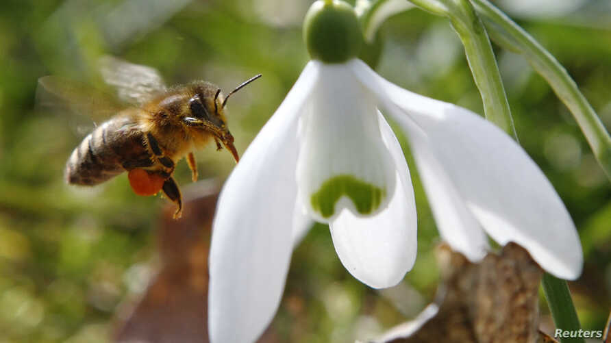 A honeybee approaches a snowdrop flower in Klosterneuburg on the first day of spring, Austria.