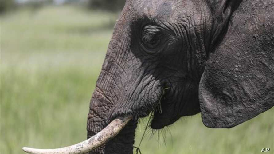 FILE - Among elephant herds, the matriarchs – older and ex